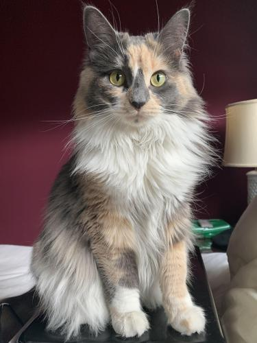 Lost Female Cat last seen 68-3890 Lua Kula Street, Waikoloa Village, HI, USA, Waikoloa Village, HI 96738