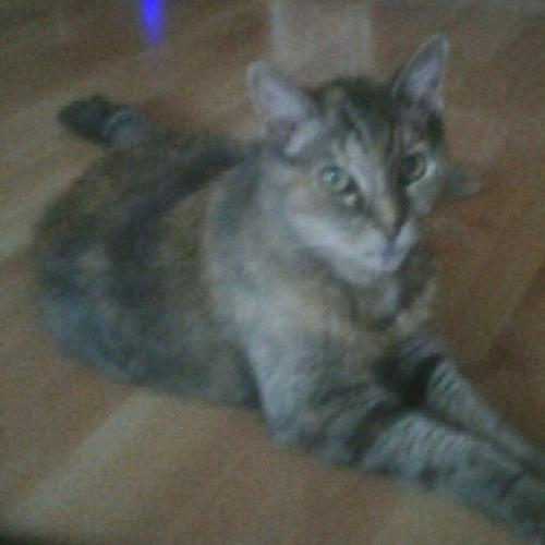 Lost Female Cat last seen Near Sheridan Way & San Rafael Dr, Buena Park, CA 90620