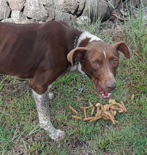 Found/Stray Male Dog last seen Hpp, 3rd ave, keaau, hi, Hawaiian Paradise Park, HI 96749