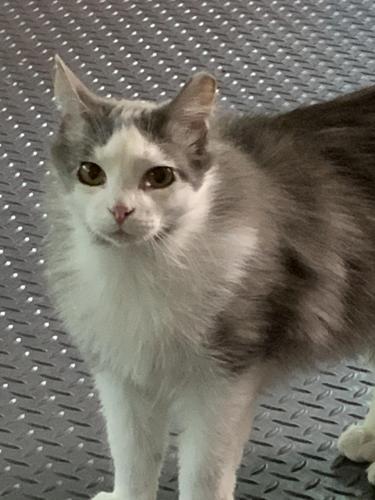 Lost Male Cat last seen Near Quarter Path Ln & Saunders Rd, Hampton, VA 23666