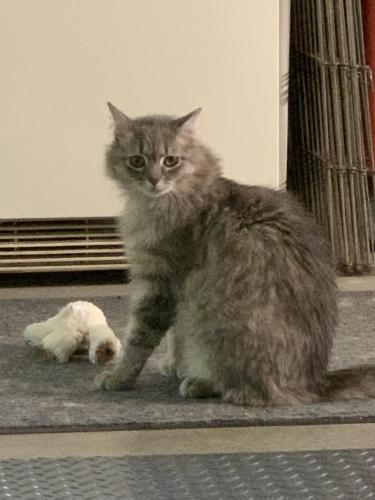 Lost Female Cat last seen Near Quarter Path Lane & Saunders Road, Hampton, VA 23666