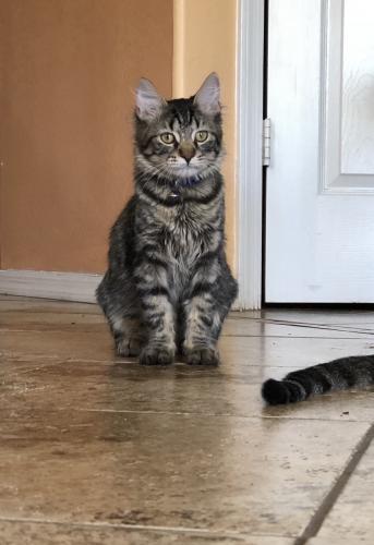 Lost Male Cat last seen Near W Hilton Ave & S 66th Ave, Phoenix, AZ 85043