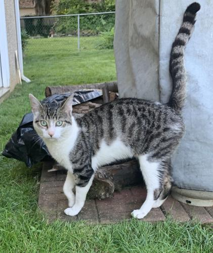 Found/Stray Male Cat last seen Near Corson Rd & Laubert Rd, Whitemarsh Township, PA 19428