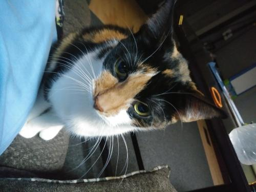 Lost Female Cat last seen Near Shafer St & Azalea Garden Rd, Norfolk, VA 23513