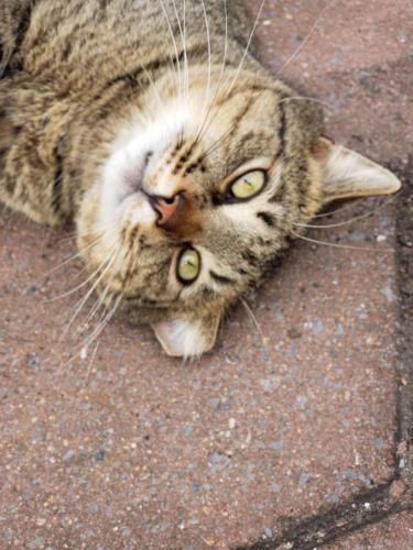 Lost Male Cat last seen Near Bentham Ln & Coleshill Ln, Chesapeake, VA 23321