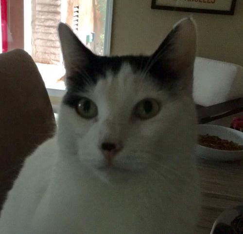 Lost Male Cat last seen Near N Redondo Ave & E 1st St, Long Beach, CA 90803