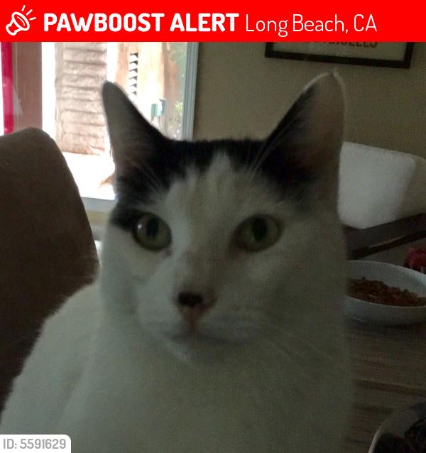 Lost Male Cat last seen Near N Redondo Ave & E 1st St, Long Beach, CA 90803