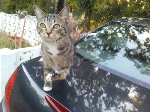Lost Female Cat last seen E. Las Flores Dr./Fair Oaks, Altadena, CA 91001