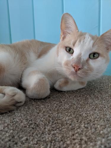 Lost Male Cat last seen Near Power Rd and Pueblo , Mesa, AZ 85208
