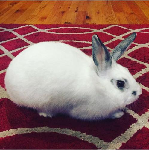 Lost Female Rabbit last seen Near Becherer Rd & Old Mount Vernon Rd, Alexandria, VA 22309