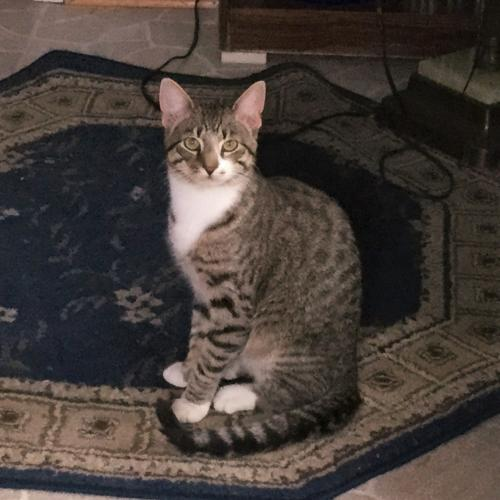 Lost Male Cat last seen Near Kent St & Kensington Pkwy, Kensington, MD 20895