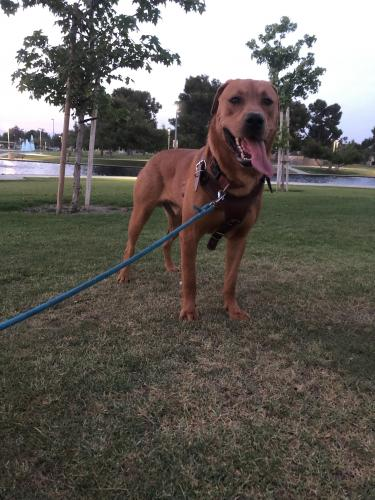 Lost Male Dog last seen Near Carson St & Bloomfield, Hawaiian Gardens, CA 90716