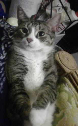 Lost Female Cat last seen Near 37th Avenue & West Cactus Rd, Phoenix, AZ 85029