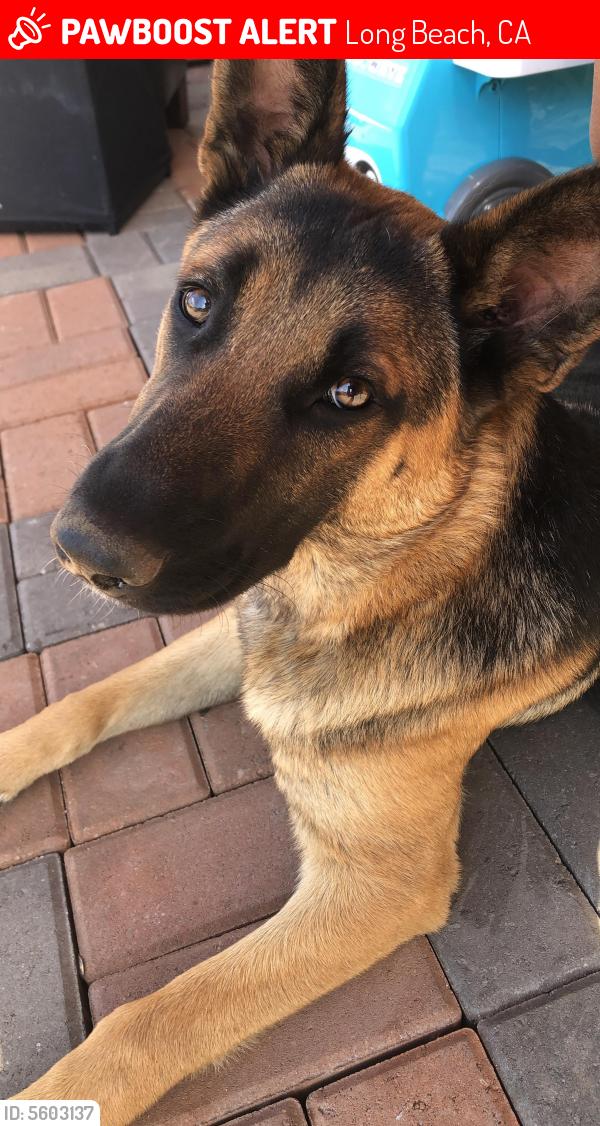 Lost Female Dog last seen Near Lime Ave & E 71st St, Long Beach, CA 90805