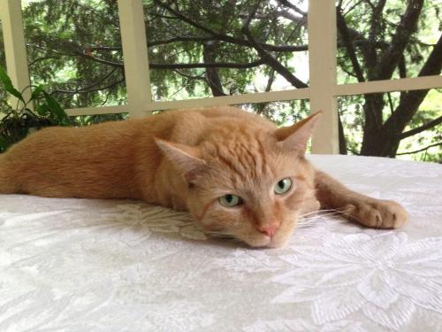 Lost Male Cat last seen Near Woodway St & Woodridge Rd, Alexandria, VA 22312