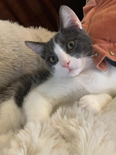 Lost Male Cat last seen Near Warner & GoldenWest, Huntington Beach, CA 92647