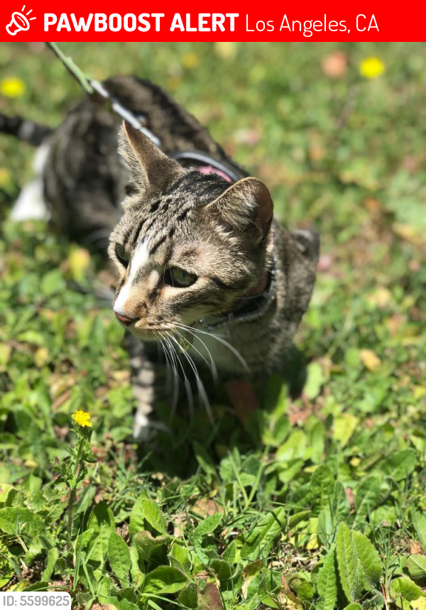 Lost Male Cat last seen Near W 54th St & S Vermont Ave, Los Angeles, CA 90037
