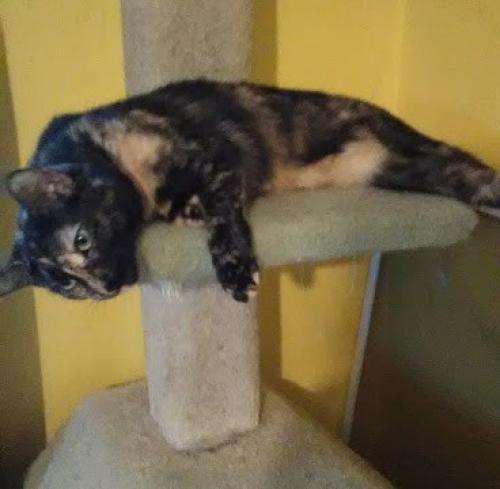 Lost Female Cat last seen Near Warhawks Rd & Rebel Rd, Chesapeake, VA 23322