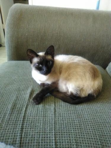 Lost Female Cat last seen Near Avenue N & S 27th St, Nederland, TX 77627