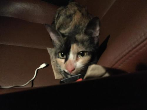 Found/Stray Unknown Cat last seen Near Norview Ave & N Military Hwy, Norfolk, VA 23513