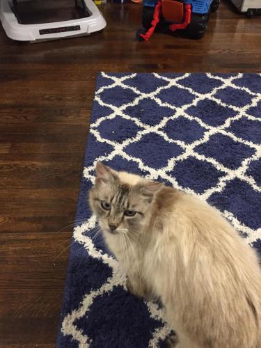 Lost Female Cat last seen Near Essex Cir & Chesapeake Blvd, Norfolk, VA 23513