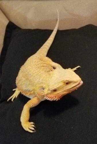 Lost Female Reptile last seen Moore Farm Lane, Suffolk, VA, USA, Suffolk, VA 23434