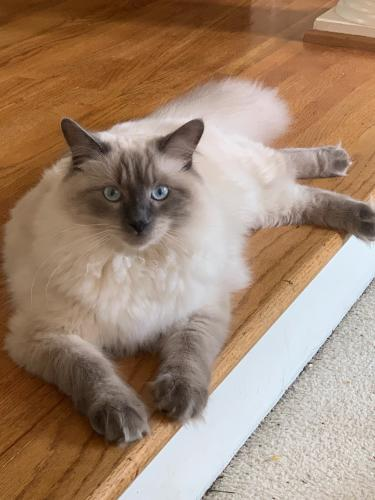 Lost Male Cat last seen Near Muller Ln & Jefferson Ave, Newport News, VA 23606
