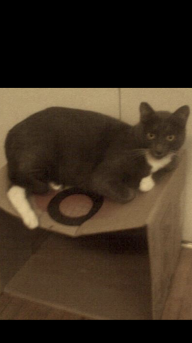 Lost Female Cat last seen Near Benner St & Shults St, Los Angeles, CA 90042
