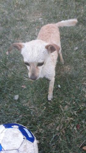 Lost Male Dog last seen Near Cottonwood St & W Cross St, Woodland, CA 95695