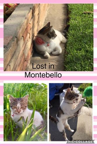 Lost Female Cat last seen Near S Taylor Ave & Hughes St, Montebello, CA 90640