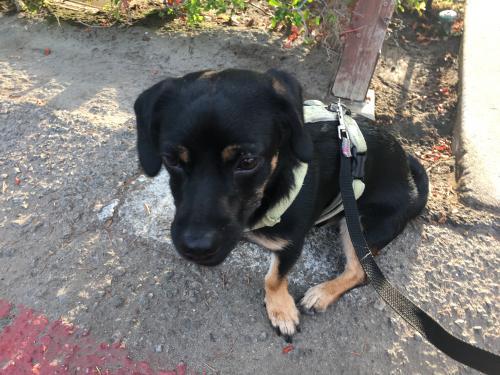 Lost Male Dog last seen Near Morella Ave & Albers St., Los Angeles, CA 91607