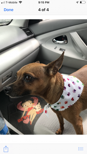 Lost Female Dog last seen Near S Hacienda Blvd & Dodrill Dr, Hacienda Heights, CA 91745