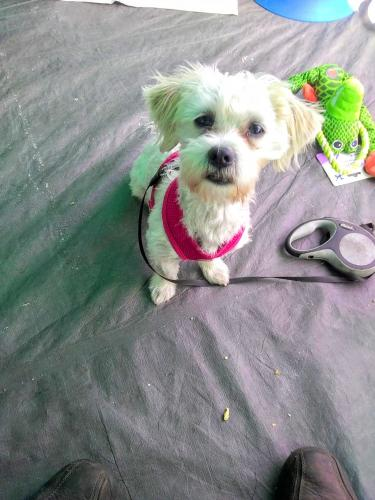 Lost Female Dog last seen Near W 1st St & N Virgil Ave, Los Angeles, CA 90004
