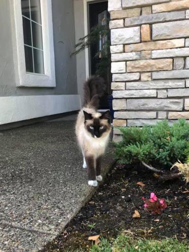 Found/Stray Female Cat last seen Near Cloud Touch Ct & Moondancer Cir, Roseville, CA 95747