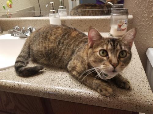 Lost Female Cat last seen Near Westchase Loop & Westfield Ln, Lumberton, TX 77657
