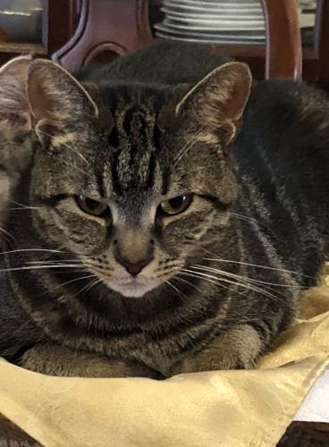 Lost Female Cat last seen Near Emden St & Charles Rd, Silver Spring, MD 20906