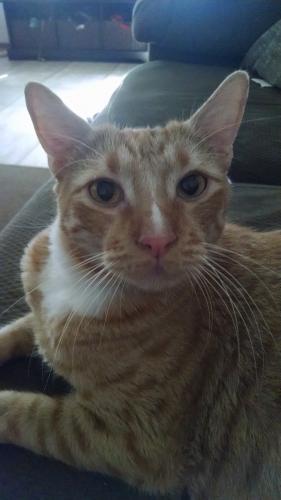 Lost Male Cat last seen Near Danali Ln & Keller Ct, Virginia Beach, VA 23456