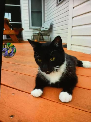 Lost Male Cat last seen Near Land of Promise Rd & Silvertown Ave, Chesapeake, VA 23322