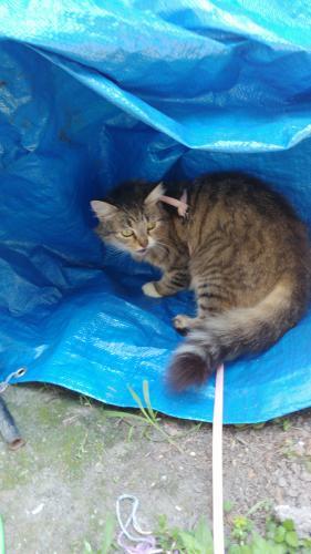 Lost Female Cat last seen Near Woodshire Circle, Chesapeake, VA 23323