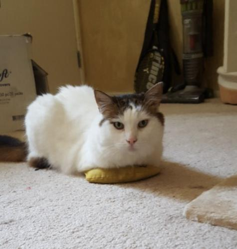 Lost Female Cat last seen Near Prospect Ave & 15th St, Hermosa Beach, CA 90254