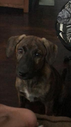 Lost Female Dog last seen Near Phillips Ave & County St, Portsmouth, VA 23707