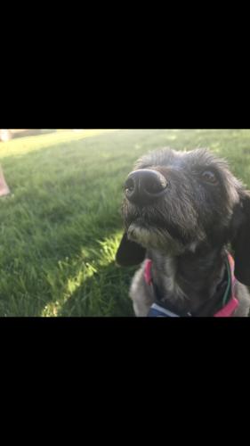 Lost Female Dog last seen Galberry road , Chesapeake, VA 23323