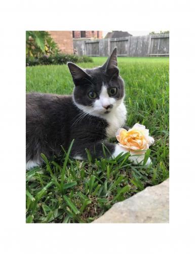 Lost Male Cat last seen Willow Fairway, Houston, TX 77095