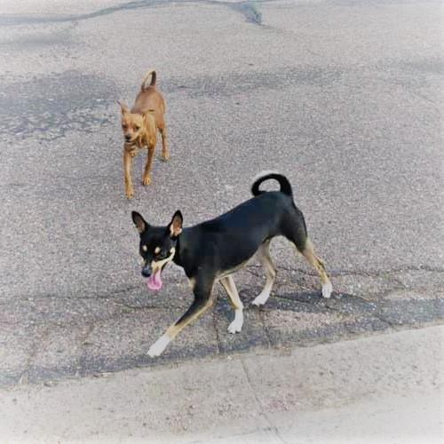 Found/Stray Male Dog last seen 7th Ave & Indian School, Phoenix, AZ 85004