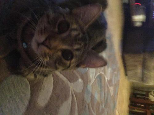 Lost Male Cat last seen 19th Ave and Union Hills, Phoenix, AZ 85023