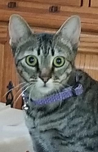 Lost Female Cat last seen North Wolfsnare & Great Neck, Virginia Beach, VA 23454