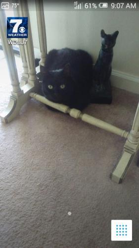 Lost Male Cat last seen Jefferson and Hogan. Near WAWA., Newport News, VA 23606
