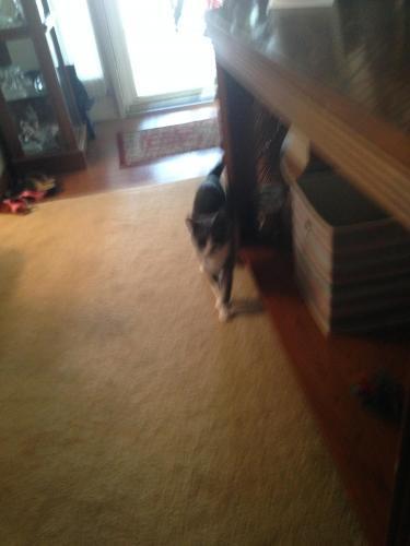 Lost Female Cat last seen Near Smokey Lake Dr, Virginia Beach, VA 23462