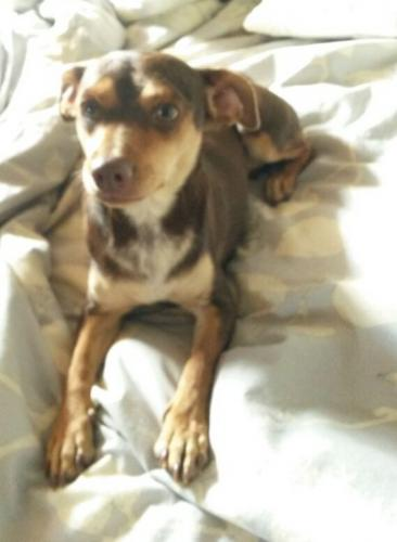 Lost Female Dog last seen 16th  & MIchigan (Cove @ North Canyon), Phoenix, AZ 85032