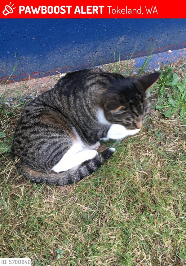 Lost Male Cat last seen Tradewinds On the Bay hotel, Tokeland, WA 98590